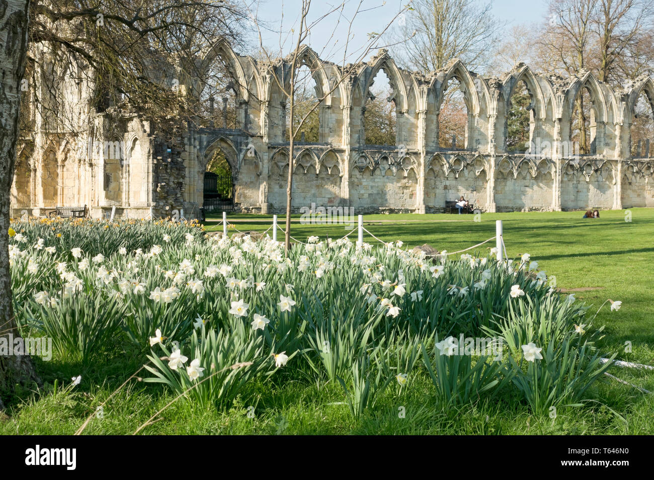 Daffodils and St Marys Abbey in the Museum Gardens in spring York North Yorkshire England UK United Kingdom GB Great Britain Stock Photo