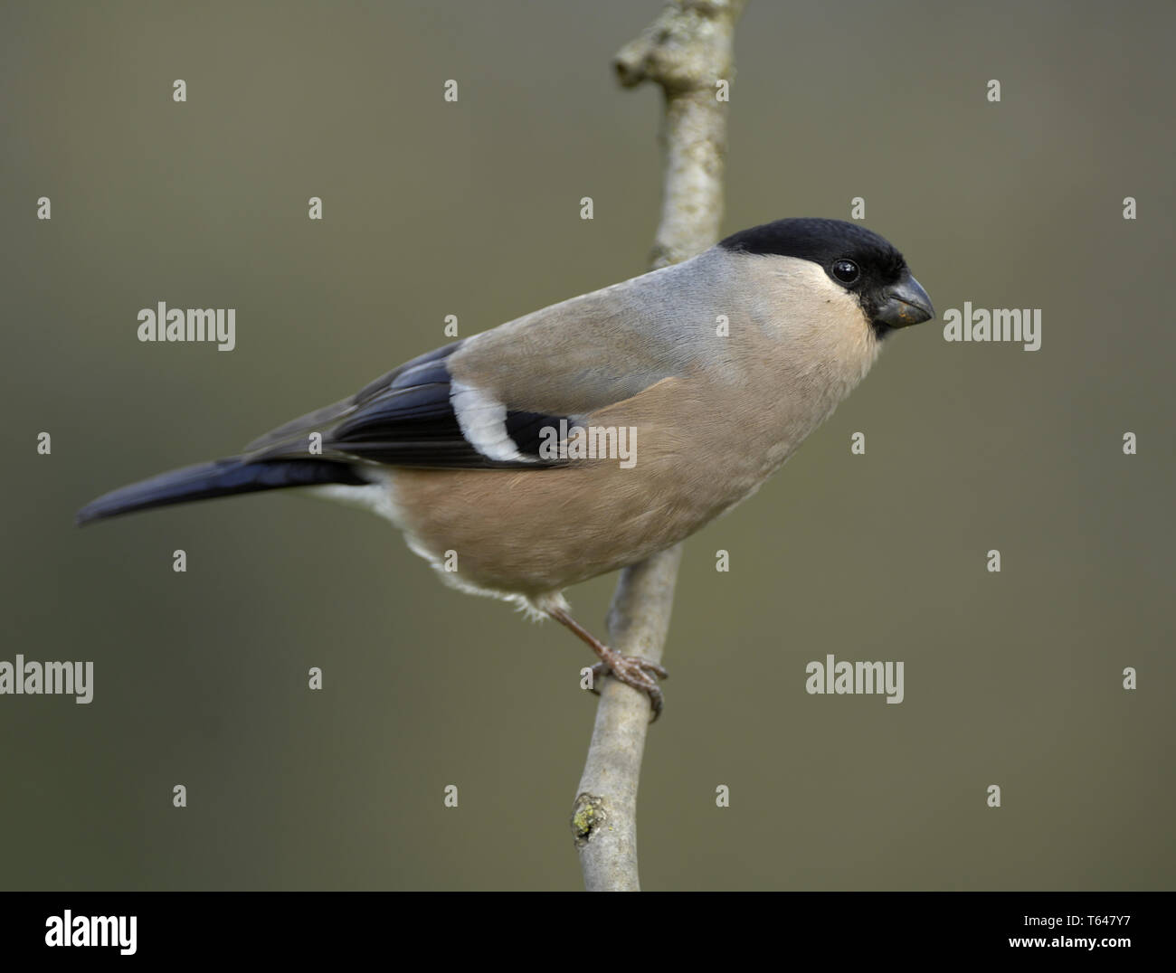 European Goldfinch, Carduelis Carduelis Stock Photo