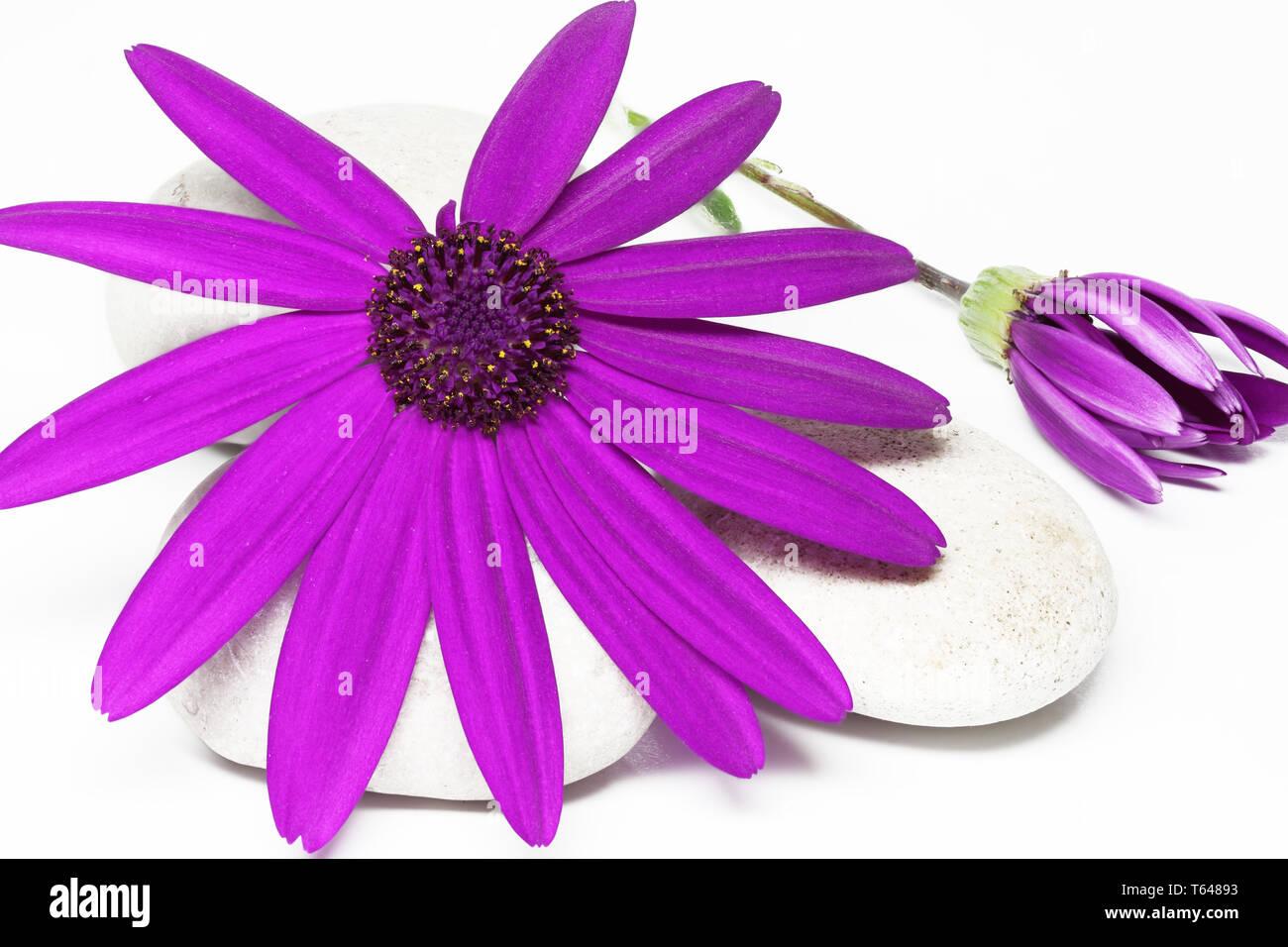 Senetti Pericalis Flower - Stock Image