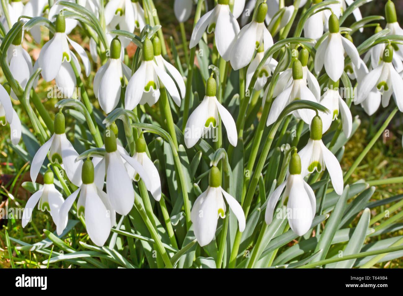 snowdrop flowers, genus Galanthus - Stock Image