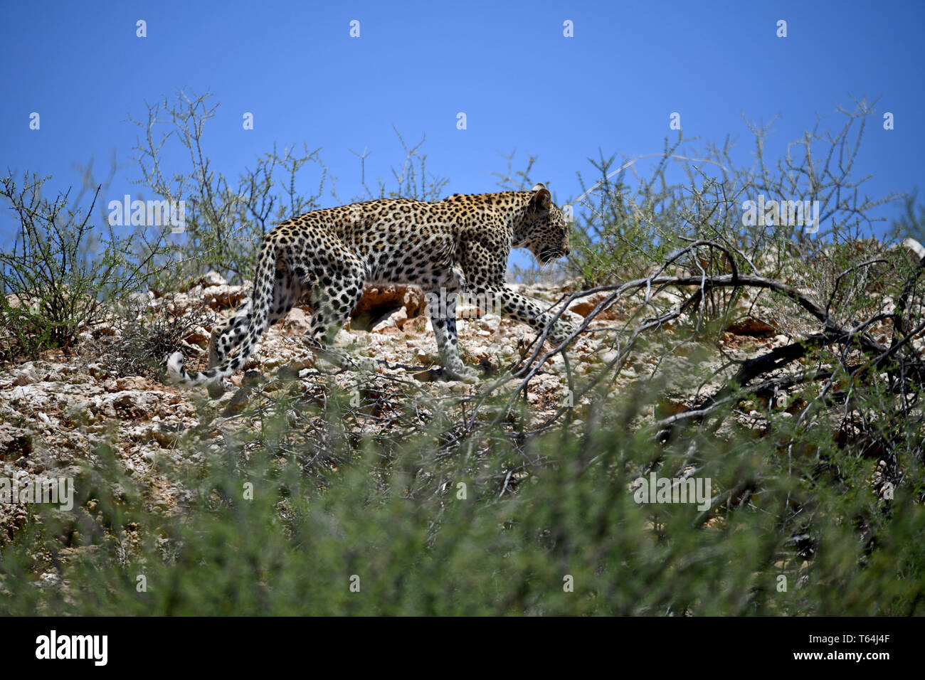 Barely recognizable and well camouflaged in its speckled coat, a leopard moves on rocky Geroell underground in the South African part of the Kgalagadi Transfrontier National Park, taken on 6.02.2019. The leopard (Panthera pardus) belongs to the family of cats; After the Tiger, Loewen and Jaguar, he is the fourth largest cat of prey. The low-susceptible species lives in much of Asia and Africa south of the Sahara, varying in size and weight depending on the environment, male leopards can reach a shoulder height of 70-80 cm and a weight of up to 90 kg. Photo: Matthias Toedt/dpa-Zentralbild/Z - Stock Image