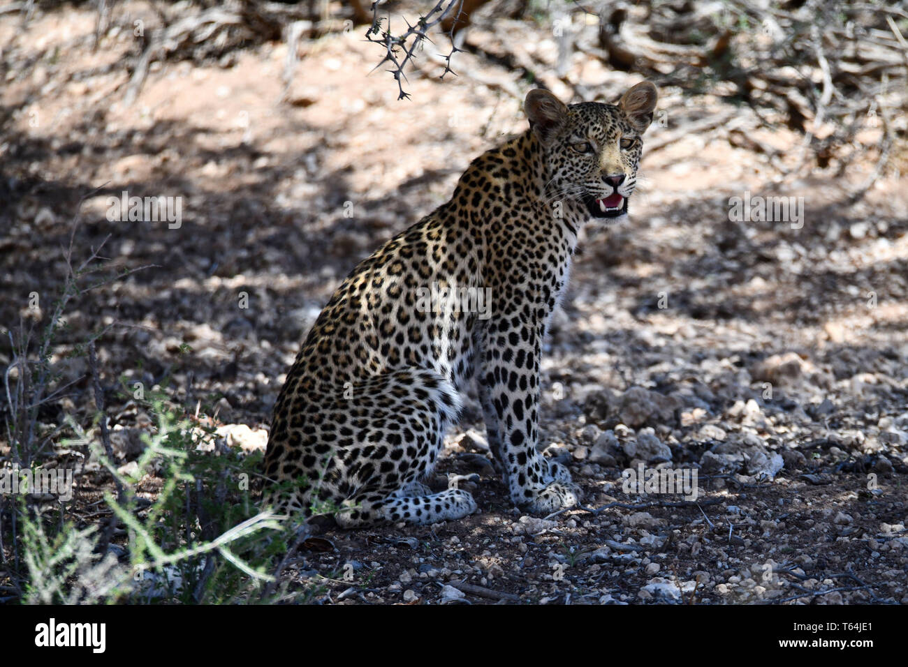 In the shade of a tree, a leopard takes a break in the heat of the day in the South African part of the Kgalagadi Transfrontier National Park and relaxes, taken on 26.02.2019. The leopard (Panthera pardus) belongs to the family of cats; After the Tiger, Loewen and Jaguar, he is the fourth largest cat of prey. The low-susceptible species lives in much of Asia and Africa south of the Sahara, varying in size and weight depending on the environment, male leopards can reach a shoulder height of 70-80 cm and a weight of up to 90 kg. Photo: Matthias Toedt/dpa-Zentralbild/ZB/Picture Alliance   u - Stock Image