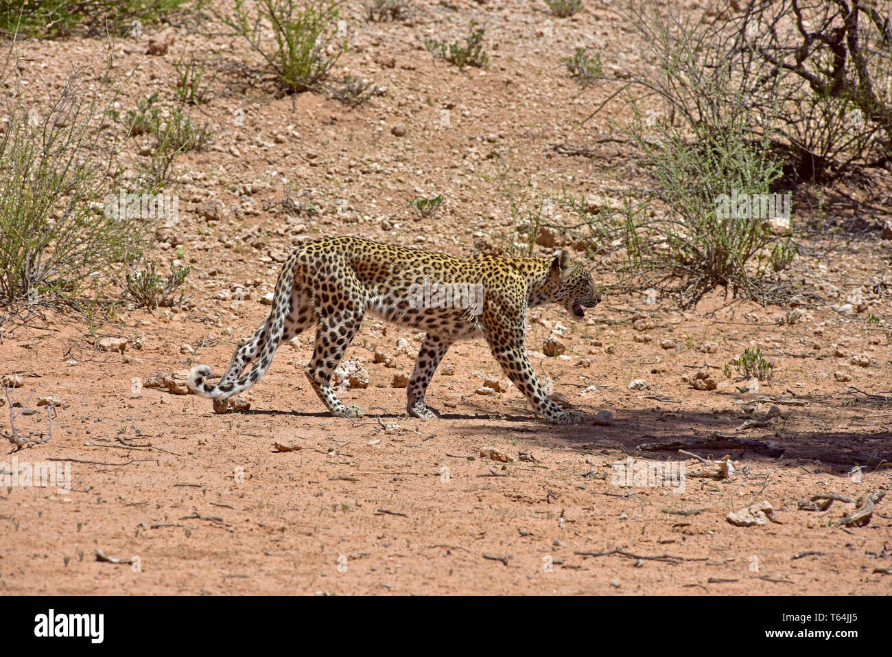 A leopard walks past the photographer over a thinly covered area in the Kgalagadi Transfrontier National Park, taken on 26.02.2019. The leopard (Panthera pardus) belongs to the family of cats; After the Tiger, Loewen and Jaguar, he is the fourth largest cat of prey. The low-susceptible species lives in much of Asia and Africa south of the Sahara, varying in size and weight depending on the environment, male leopards can reach a shoulder height of 70-80 cm and a weight of up to 90 kg. Photo: Matthias Toedt/dpa-Zentralbild/ZB/Picture Alliance   usage worldwide - Stock Image