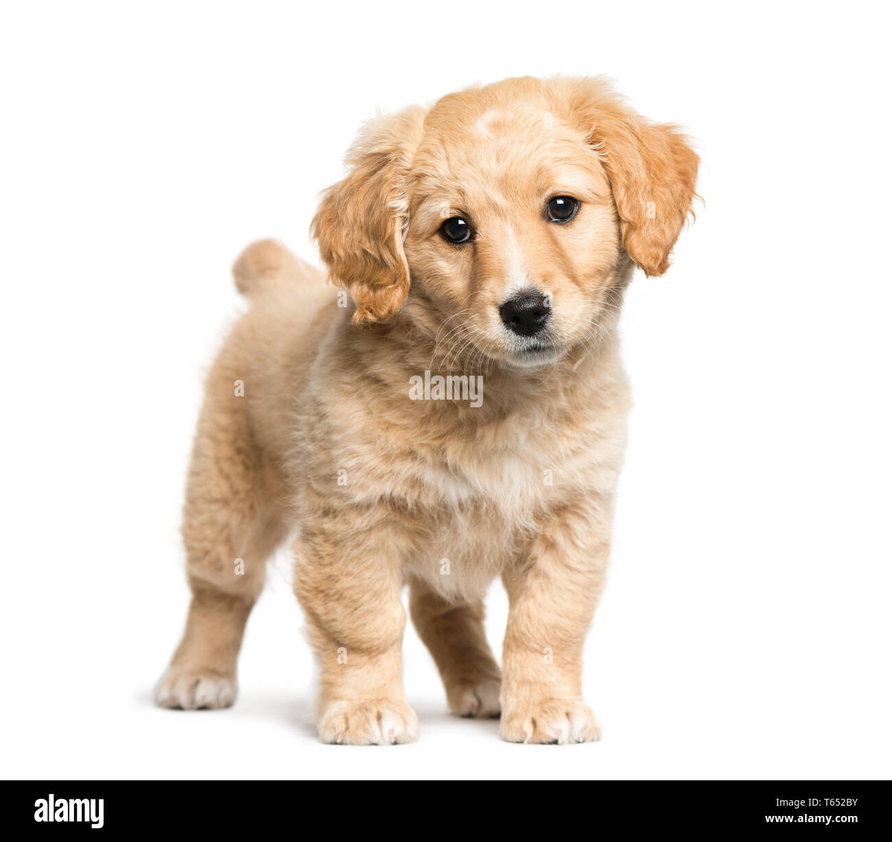 Mixed Breed Between Jack Russell Terrier And Golden Retriever 2