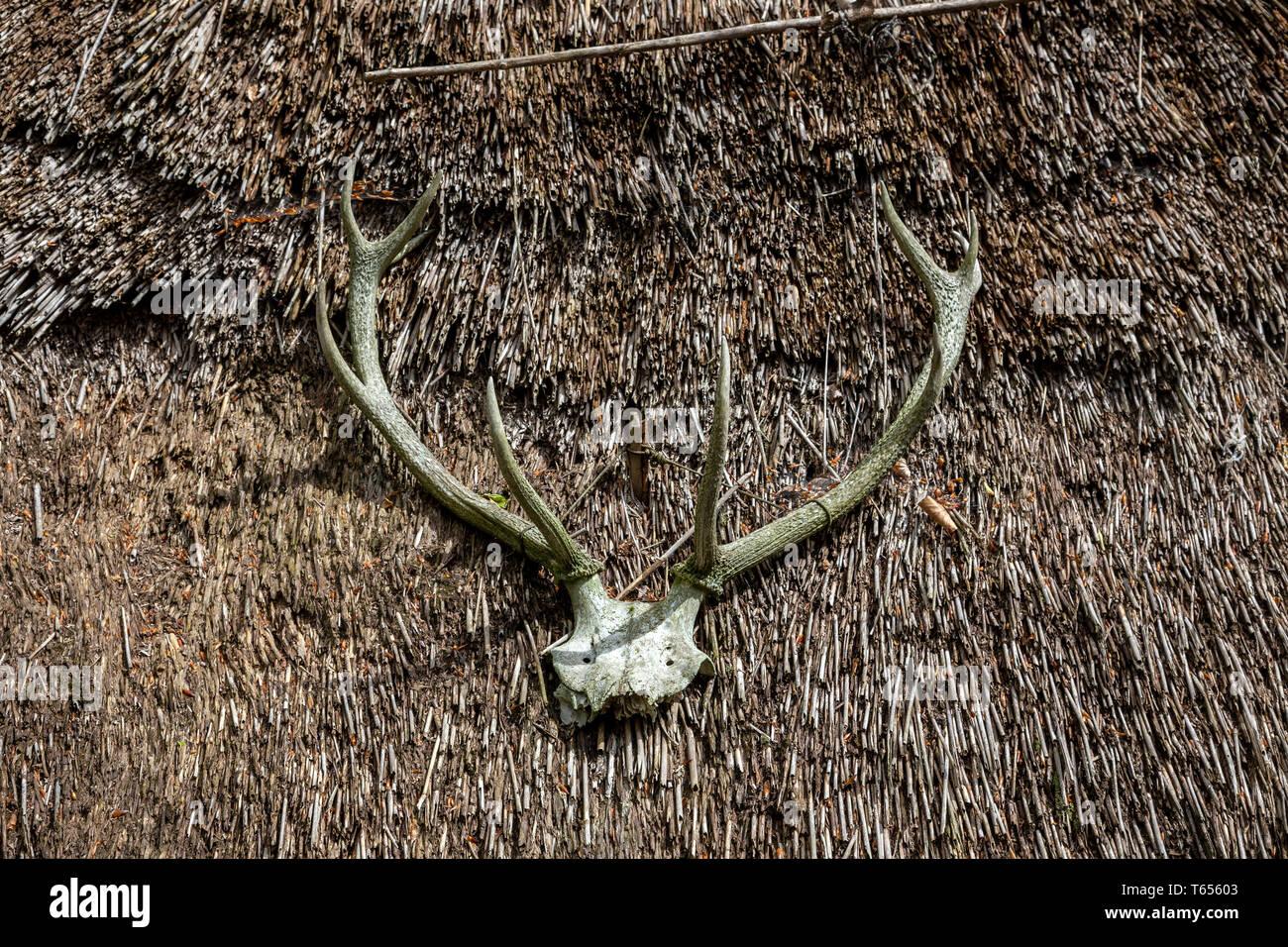 Deer, Antler, Animal, Animal Skull, Animal Head, Reindeer, Horned, Weathered, Animal Body Part, Animal Bone, Animal Skeleton, Bull - Animal, Close-up, - Stock Image