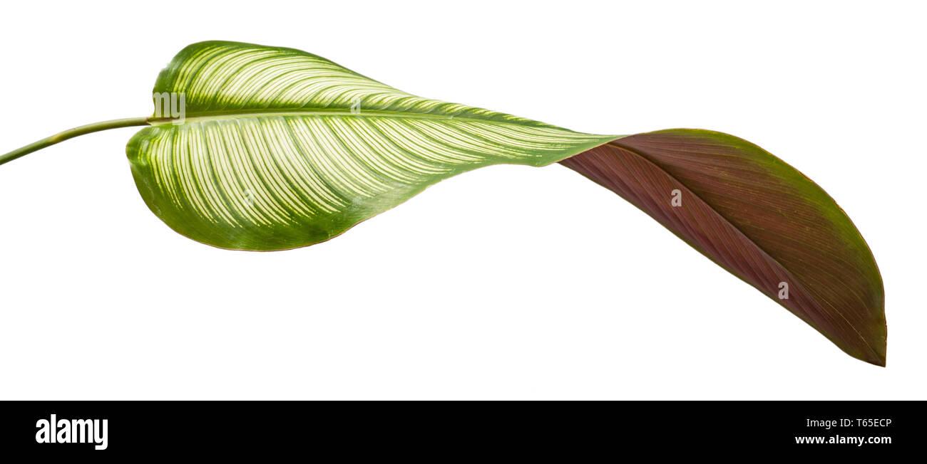 Curved leaf of Calathea Ornata Albolineata with a magenta bottom - Stock Image