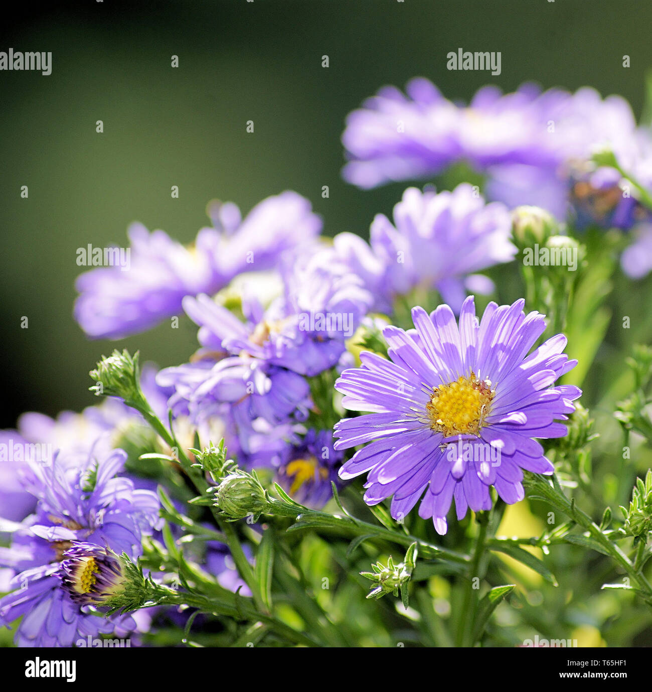 Aster family - Stock Image