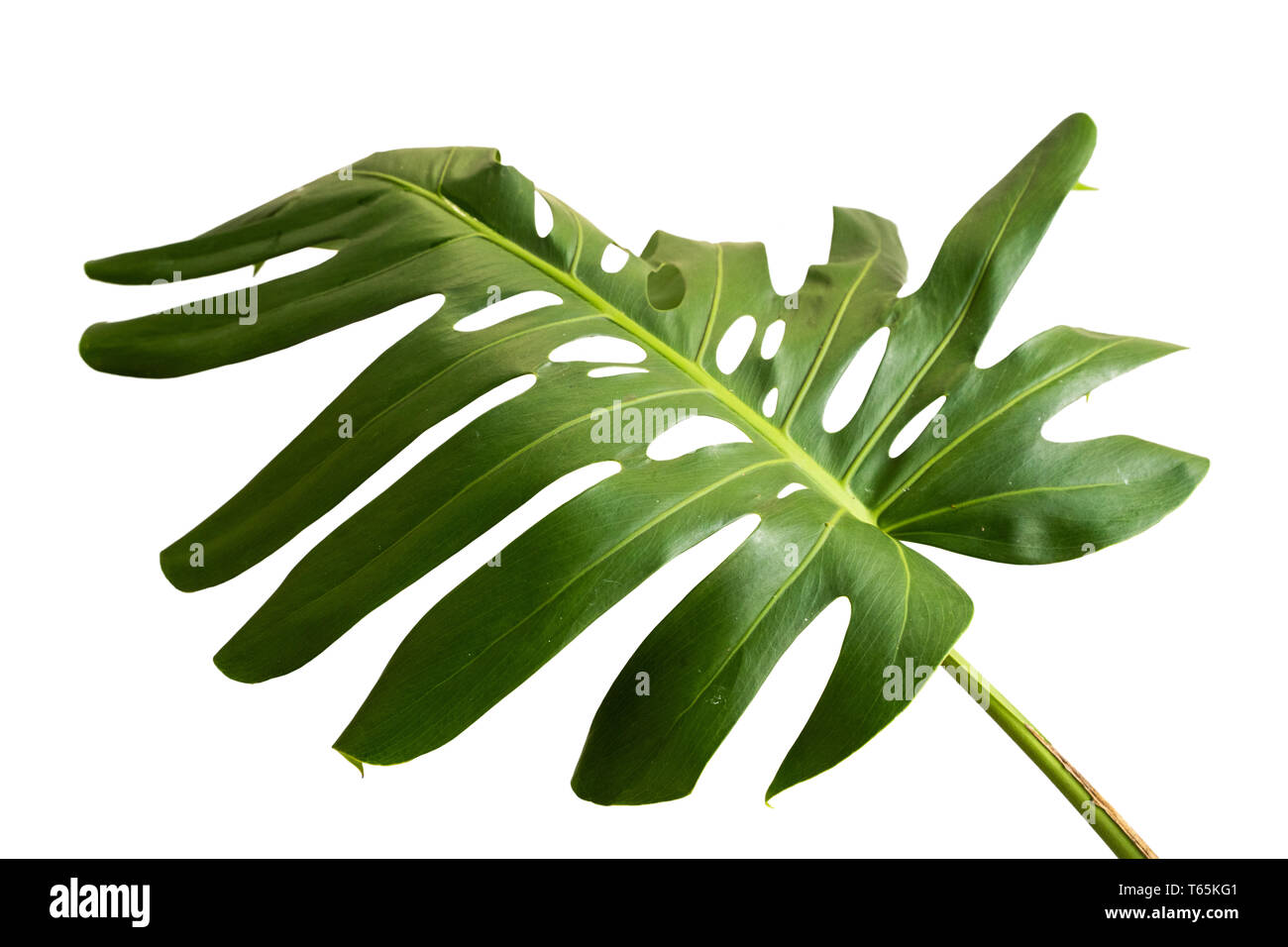 Unique Leaves Shape Of The Monstera Stock Photo Alamy