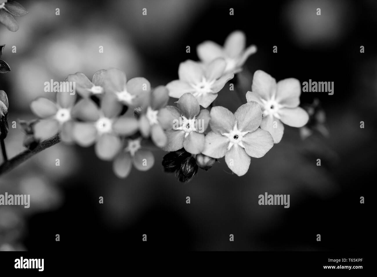 Black-white photo of myosotis flowers. Macro photography. Stock Photo