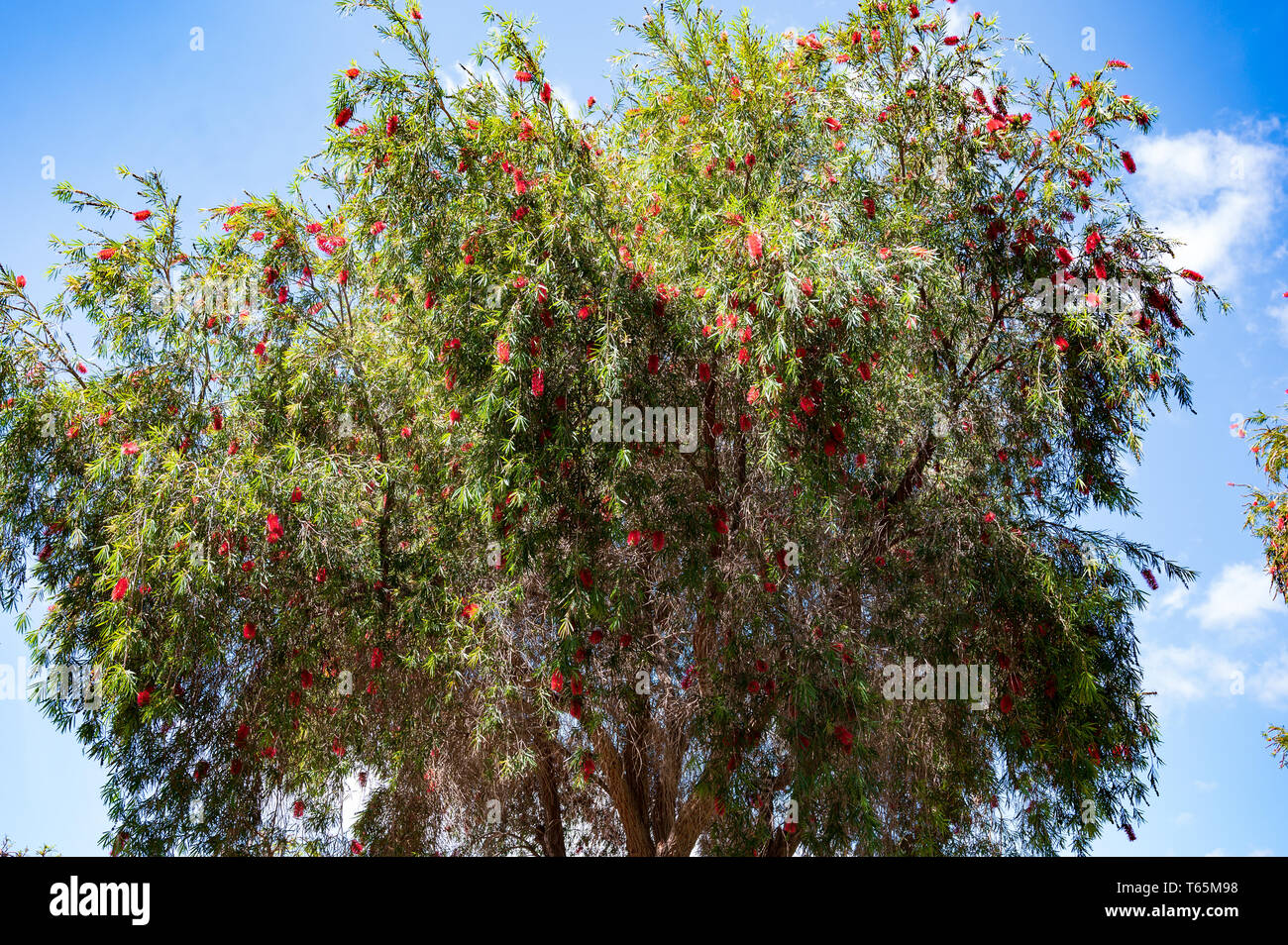 The scientific name of this plant is Callistemon viminalis - Stock Image