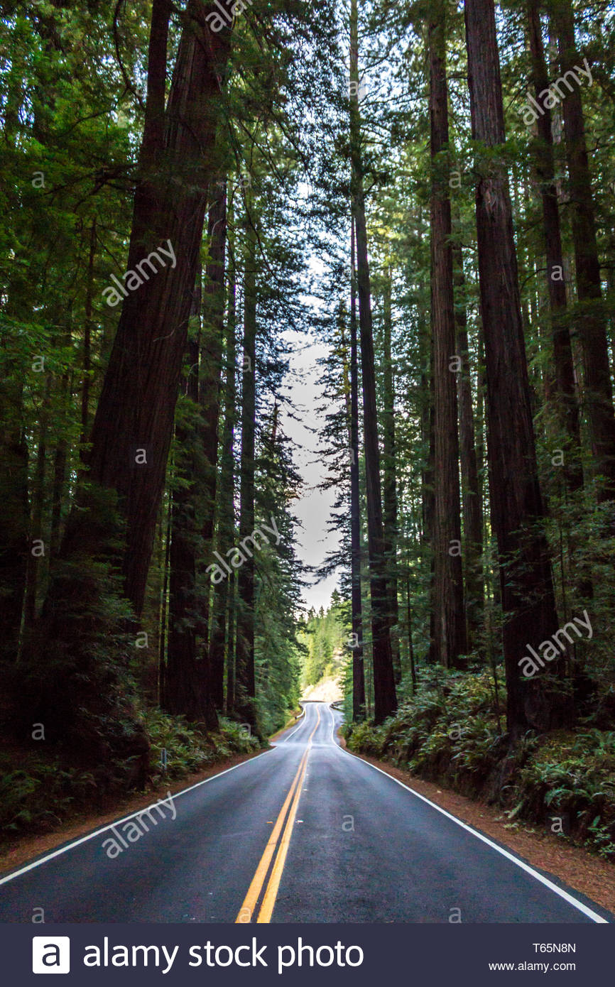 The light slowly fades away on the Avenue of the Giants, Northern California, USA - Stock Image
