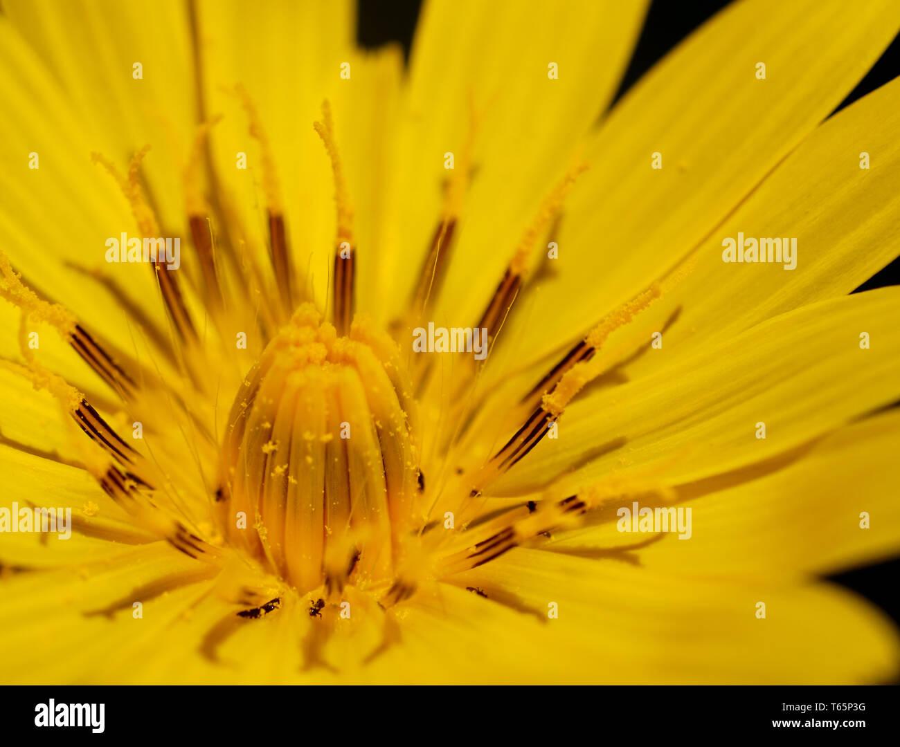Flowering Plant - Dandelion - Stock Image