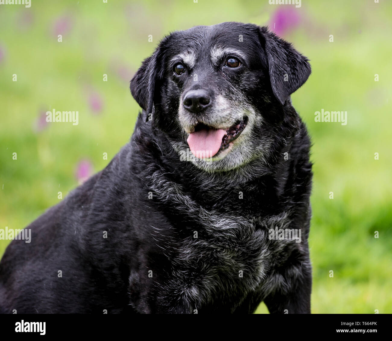 fat overweight dog - Stock Image