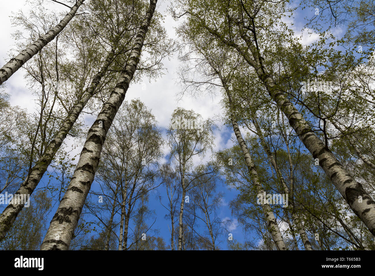 worm's-eye-view of a birch forest - Stock Image