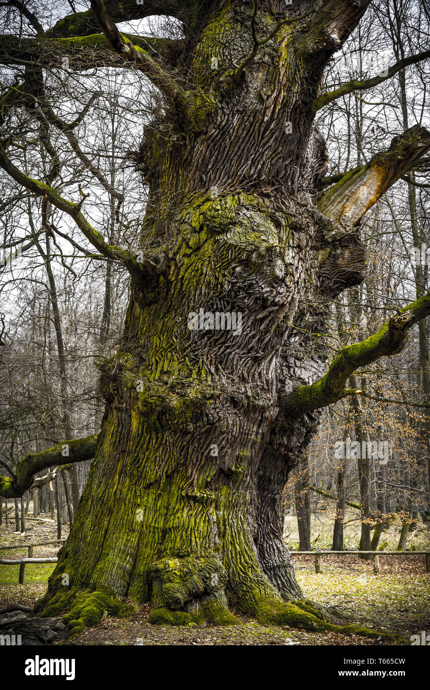 Trunk of an 1000 years old oak - Stock Image