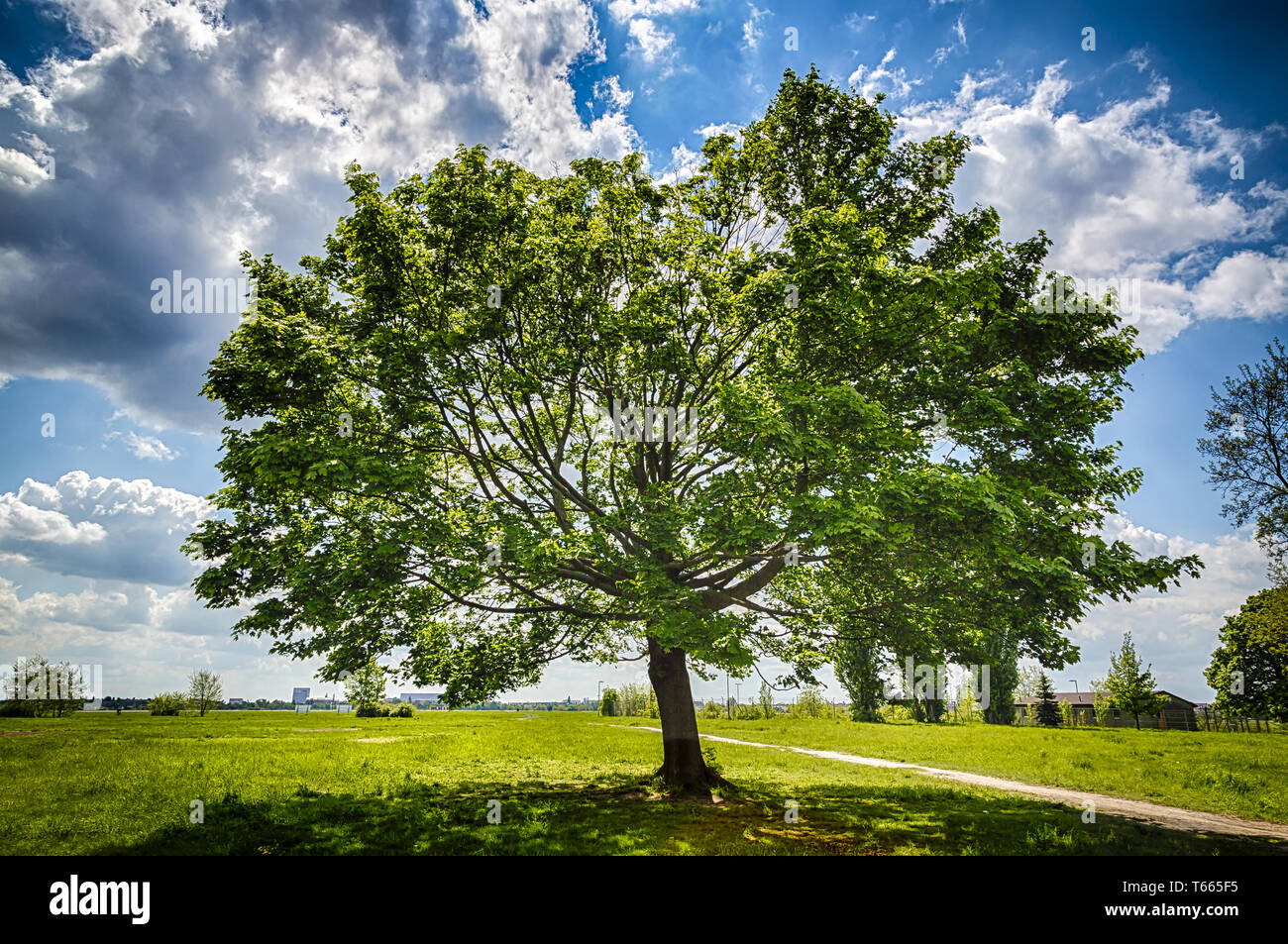 HDR-shot - Sloped Mapletree on the Tempelhofer Field in spring - Stock Image