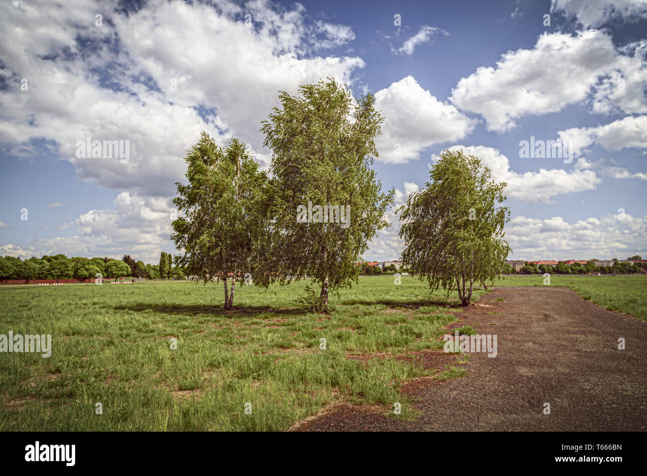 three birch trees at the Tempelhofer Feld, Berlin Germany - Stock Image
