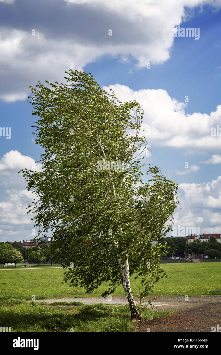 birch tree at the Tempelhofer Feld, Berlin Germany - Stock Image