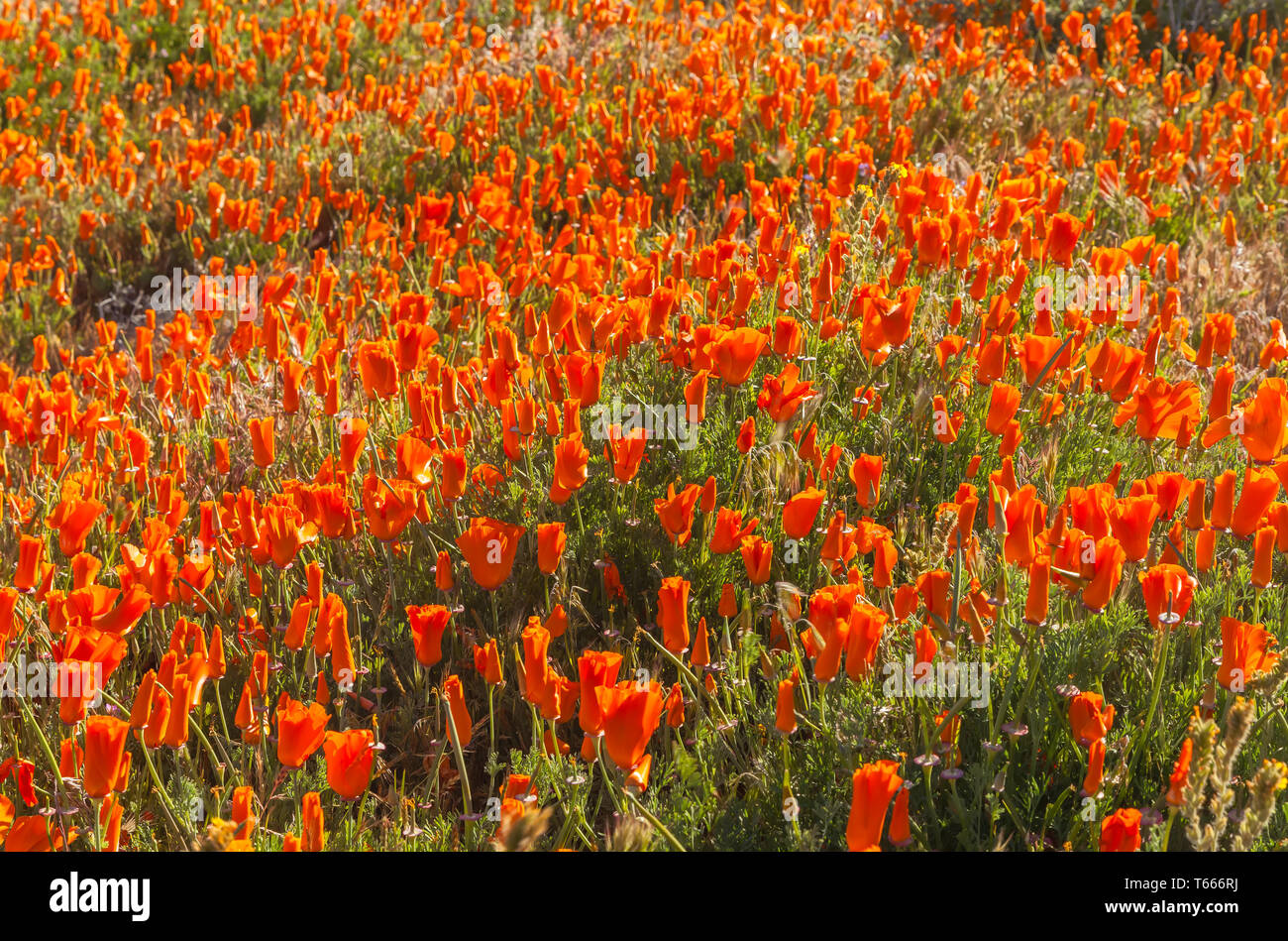 Field of blooming California poppies (Eschscholzia californica) at Antelope Valley California Poppy Reserve, USA, in spring. - Stock Image