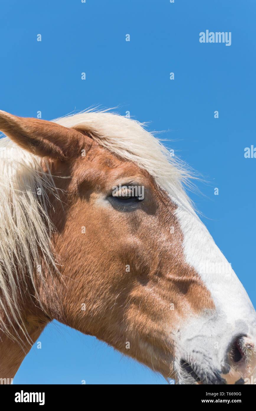 Belgian horse at American farm ranch close-up - Stock Image