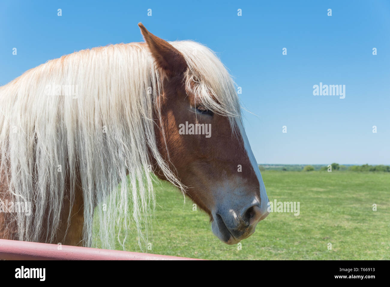 Belgian horse at American farm ranch close-up - Stock Image