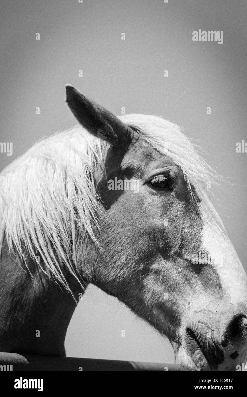 Filtered image of Belgian horse head at American farm ranch close-up - Stock Image