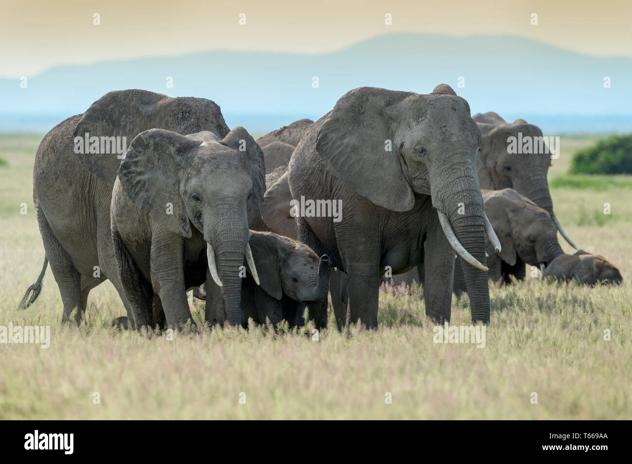 African elephant (Loxodonta africana) herd walking together protecting baby on savanna, Amboseli national park, Kenya. - Stock Image