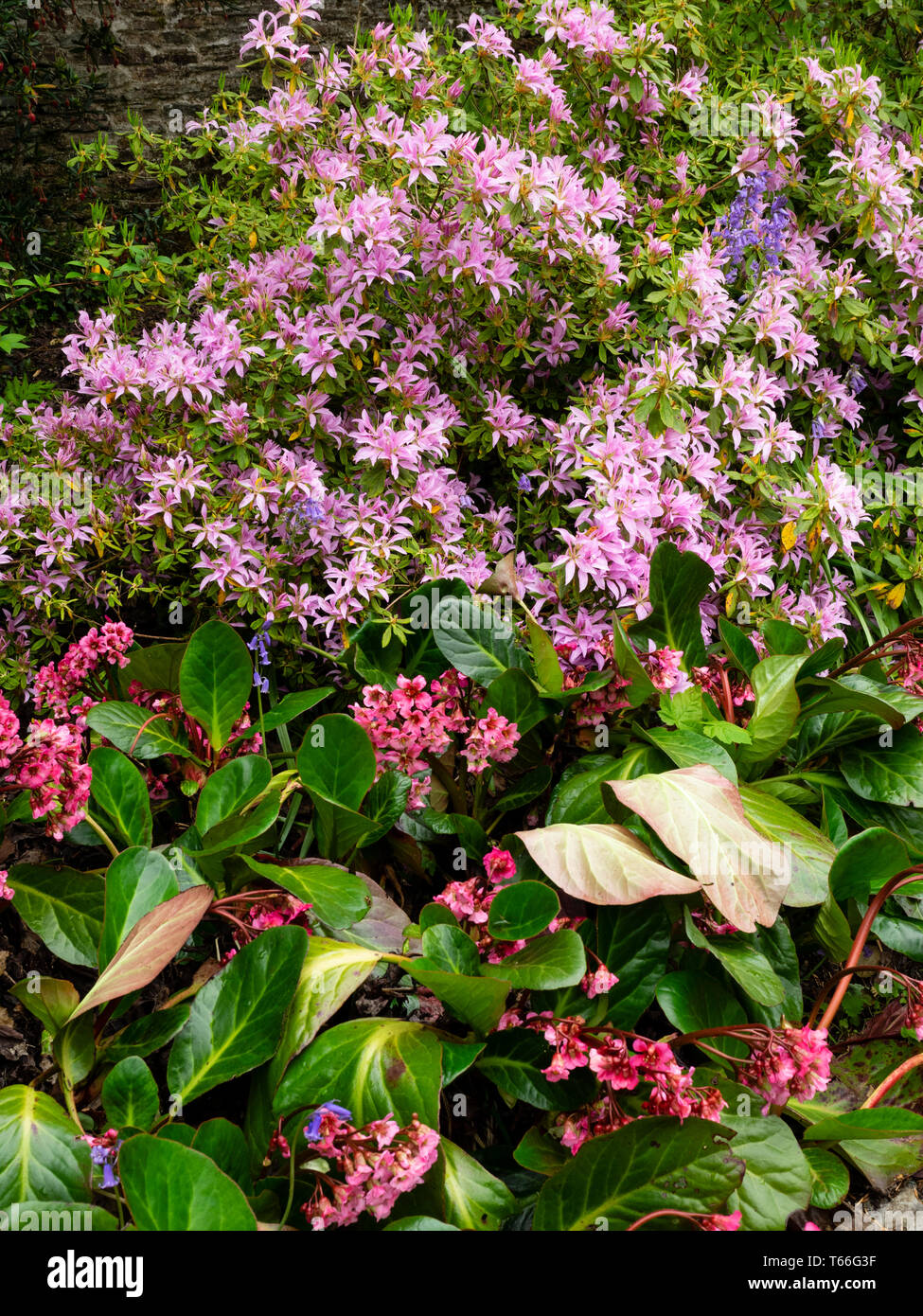 Bergenia 'Bressingham Salmon, shares a bed with the evergreen azalea, Rhododendron 'Koromo shikibu' in a spring garden Stock Photo