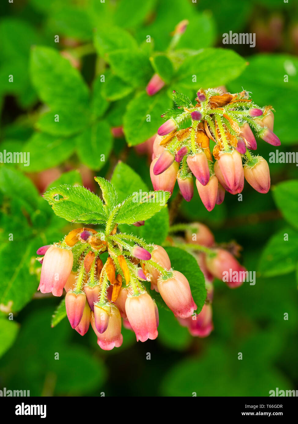 Red-pink spring bell flowers of the smal ericaceous peat garden shrub, Menziesia ciliicalyx 'Yvla' - Stock Image