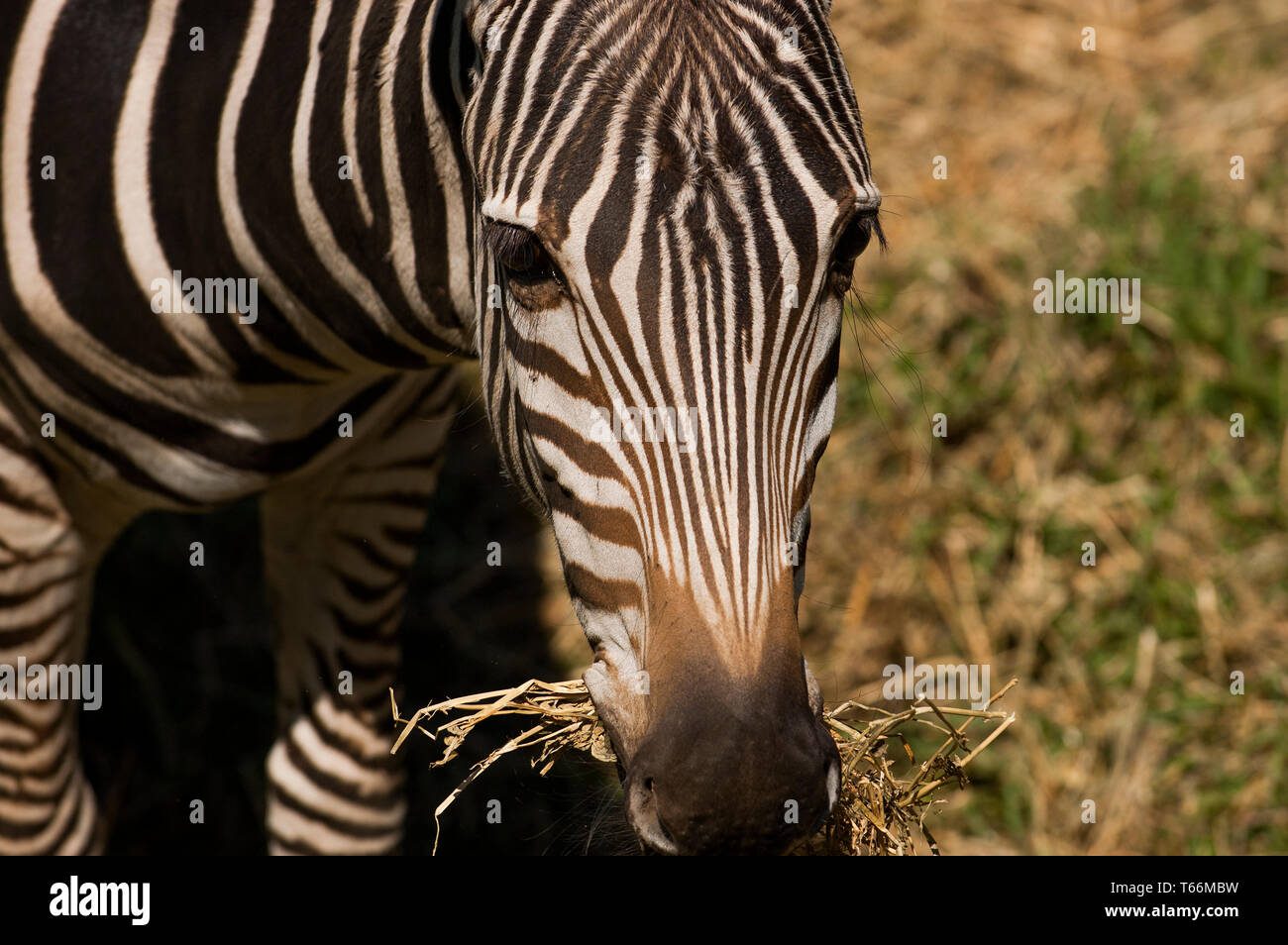 Zebra grazing at Taronga Western Plains Zoo, Dubbo, New South Wales, Australia Stock Photo