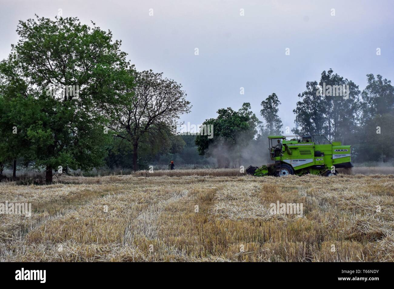 An Indian farmer seen using a combine during the harvest in