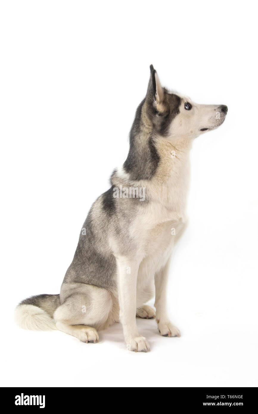 Husky dog sitting on white background, husky has blue eyes and white face, with wolf coloured body - Stock Image