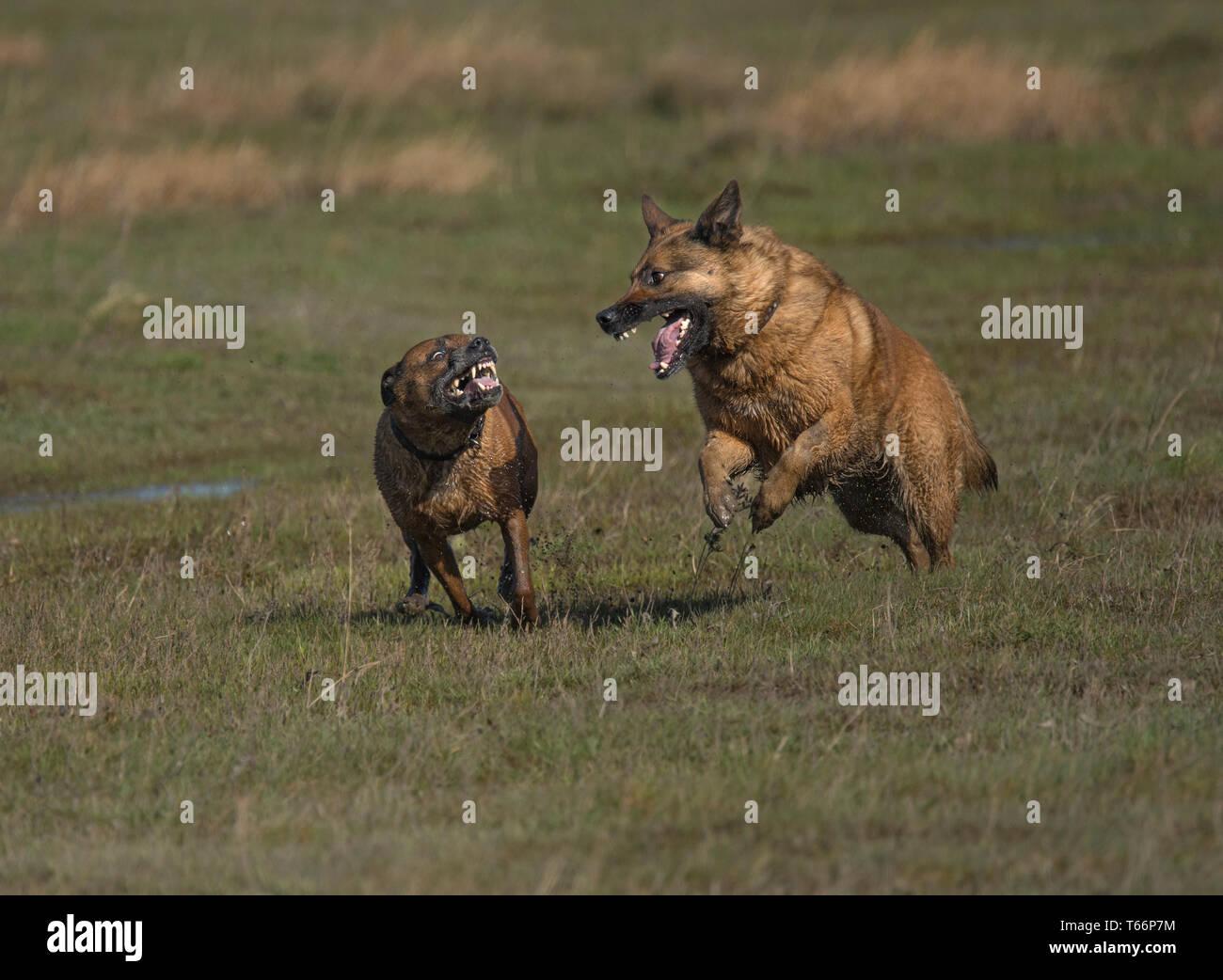 Two dogs, fighting in salt marsh, Morecambe Bay, UK - Stock Image