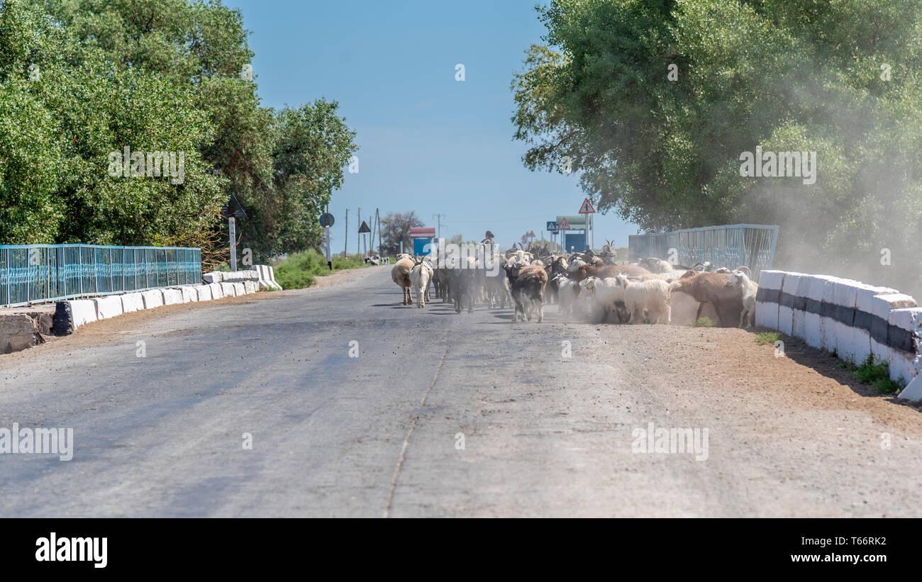 Goats walking on a Road in Uzbekistan - Stock Image