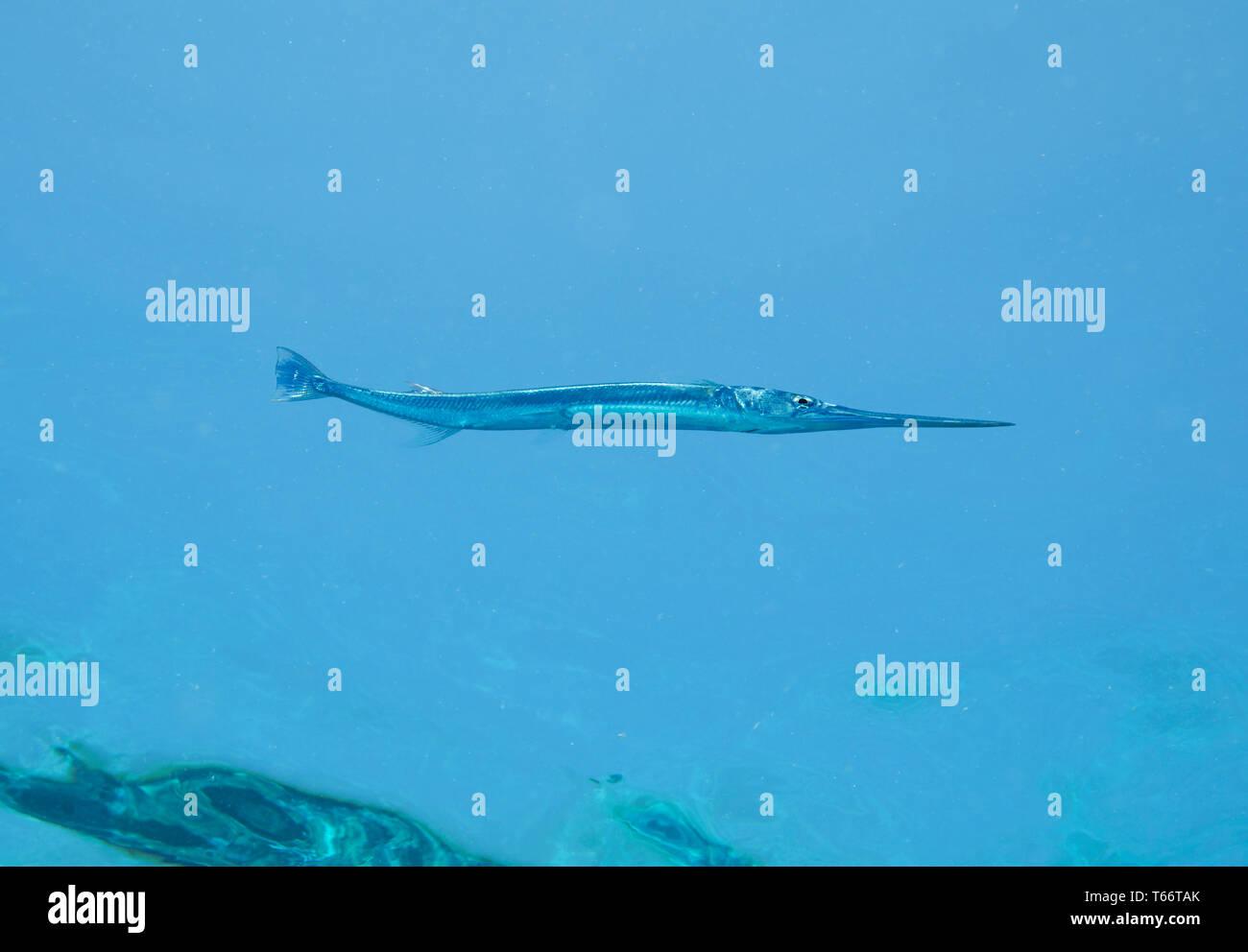 Needle fish, Tylosurus choram, swiming beneath the surface water, Red Sea, Egypt - Stock Image