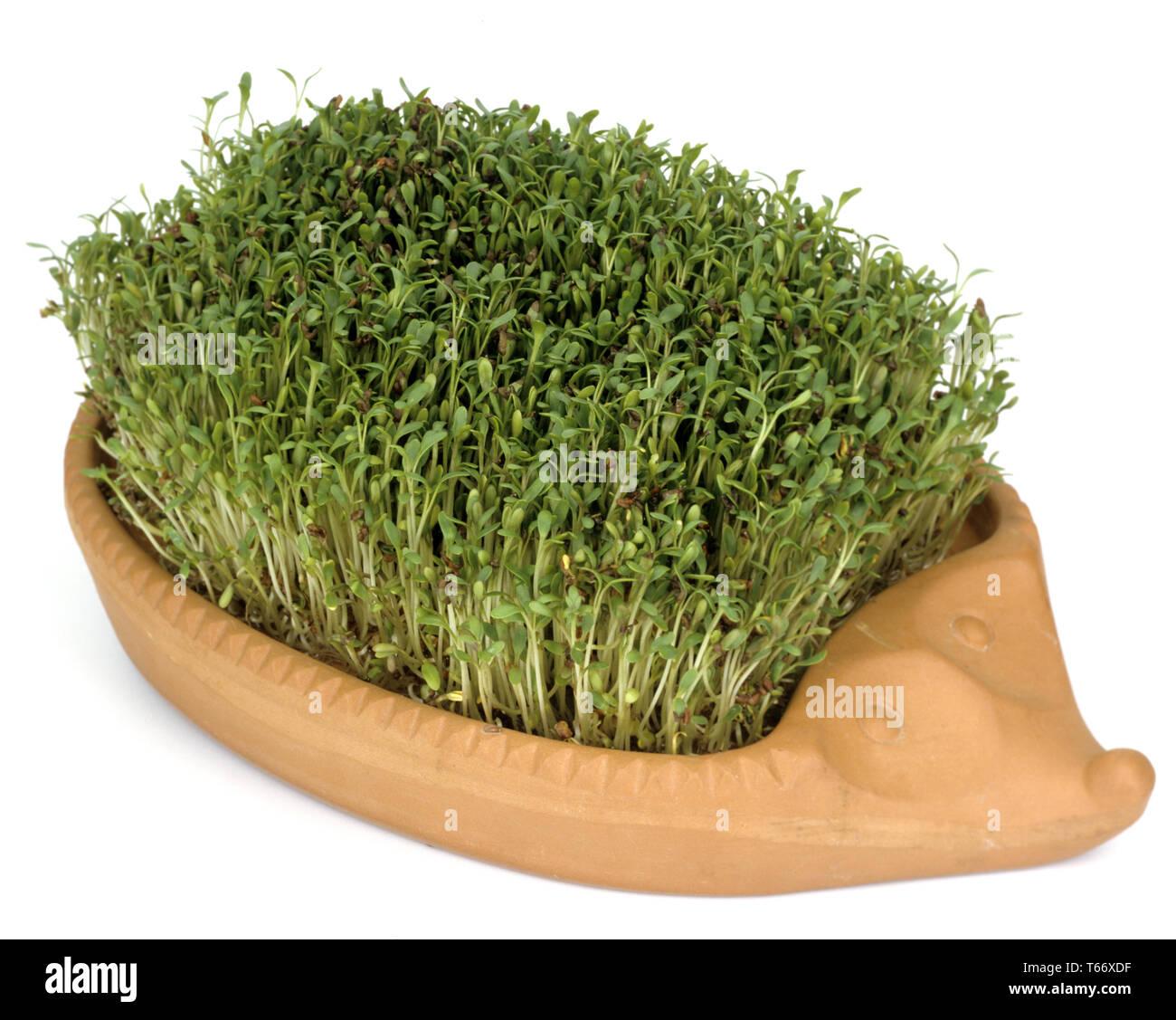pepperwort or garden cress, Lepidium sativum Stock Photo