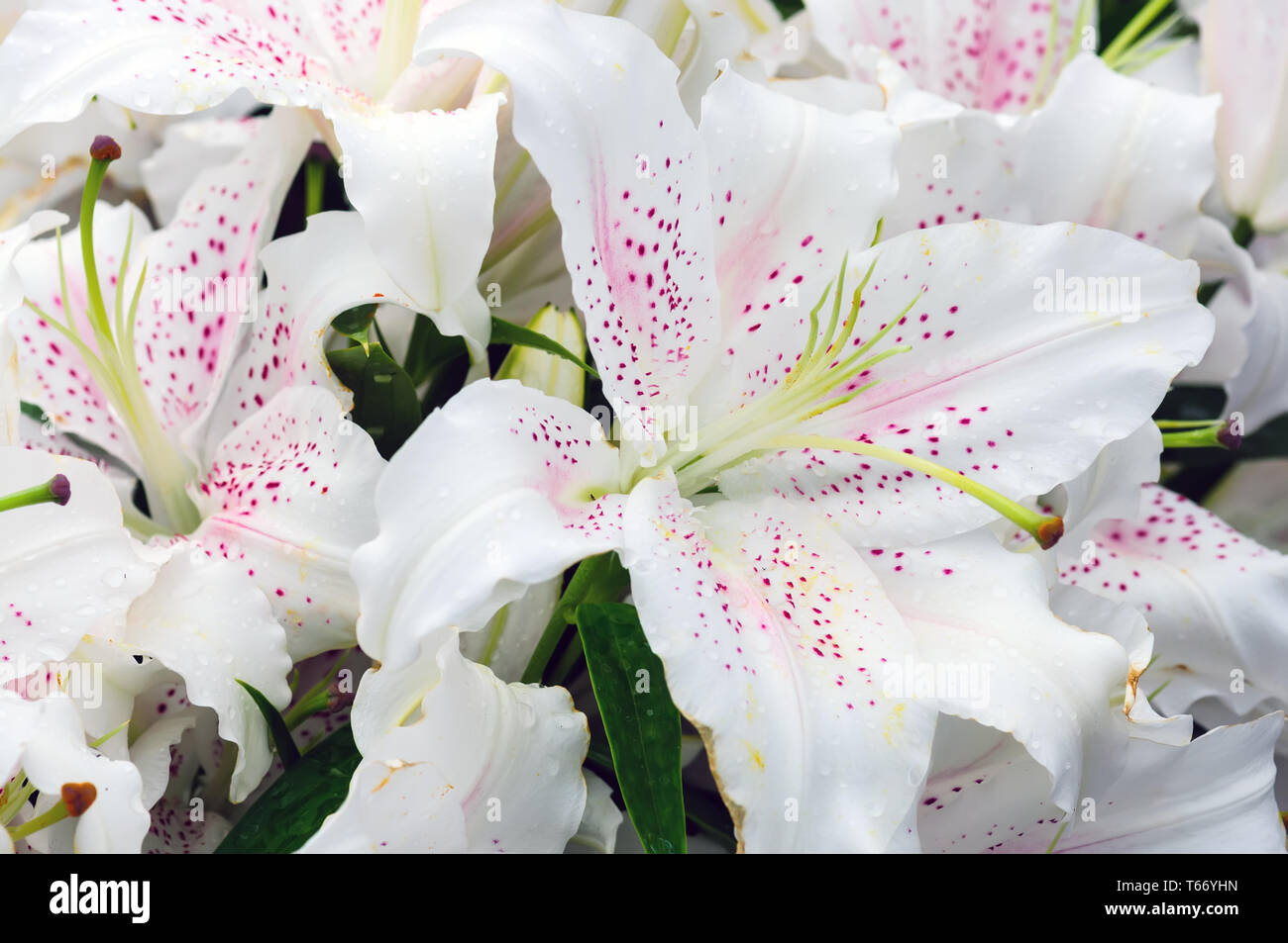 many Lily flowers in the garden close up view Stock Photo