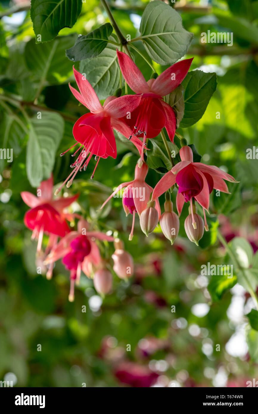 Fuchsias hanging from the ceiling in the The Royal Greenhouses at Laeken. The Castle of Laeken is the official residence of the King of the Belgium. - Stock Image