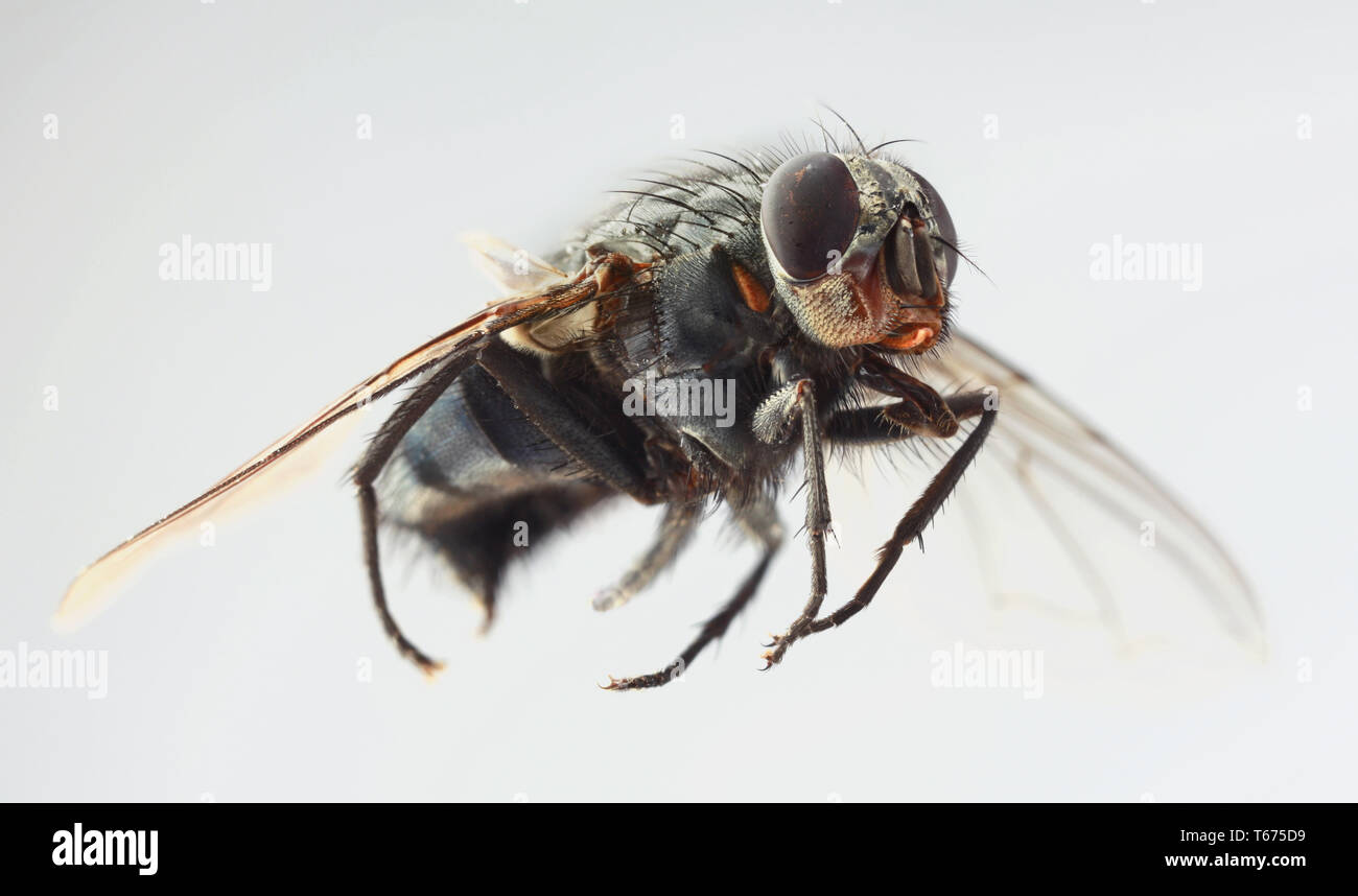 Musca Domestica Magnification - Stock Image
