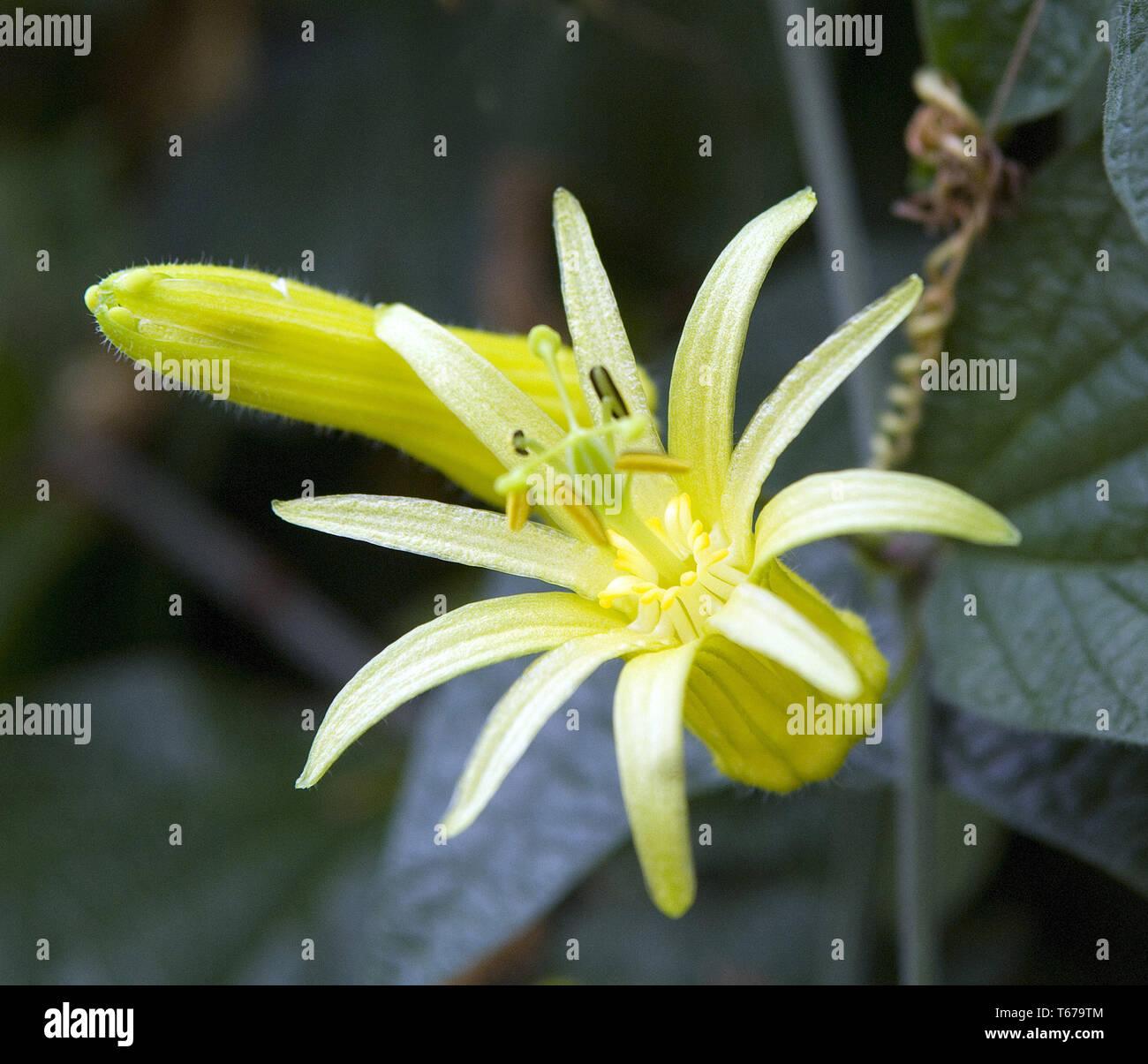 yellow passionflower / passion flower [Passiflora lutea] Stock Photo