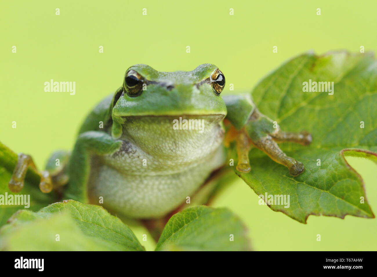 European tree frog, Hyla arborea - Stock Image