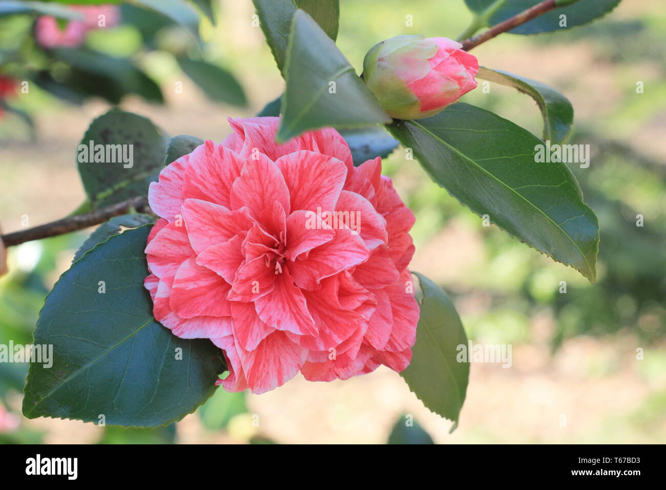 Camellia japonica  'Blood of China; bicoloured form. Double blooms of Camellia Blood of China' in spring, UK. Also called Camellia Victor Emmanuel Stock Photo