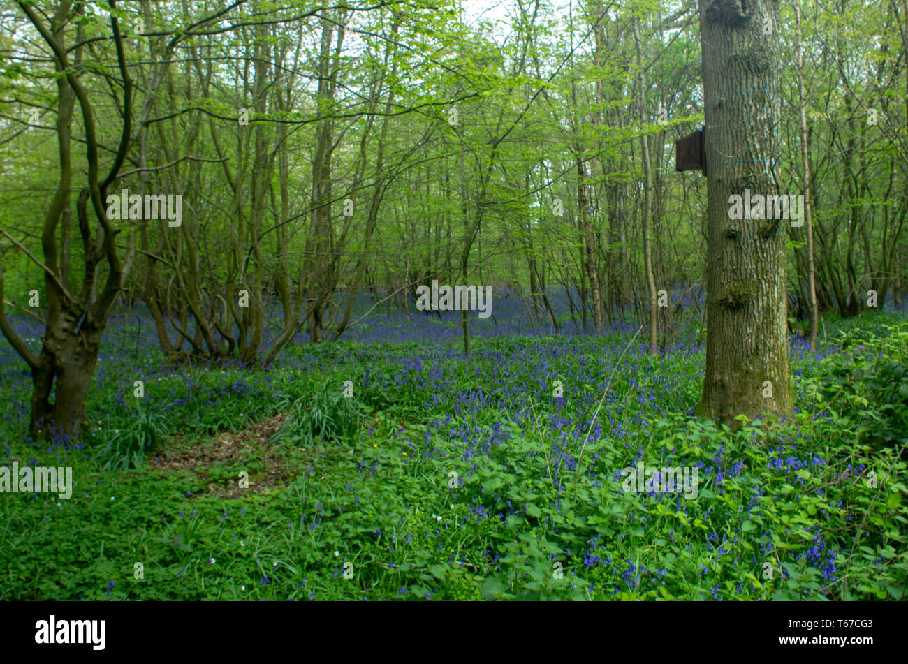 Bluebells carpet a woodland glade. An old oak with a birdbox in the foreground - Stock Image