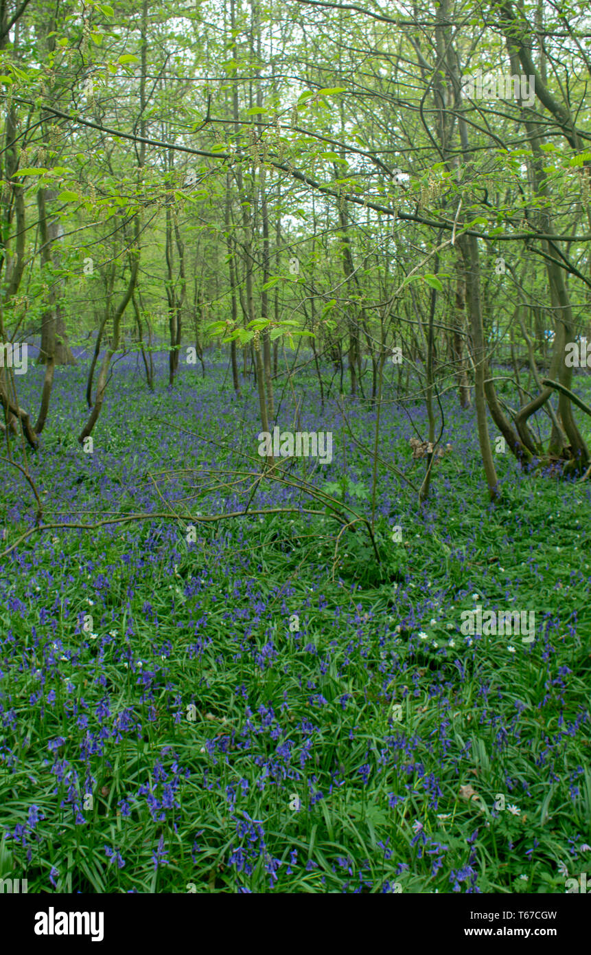 Bluebells in a peaceful woodland glade - Stock Image