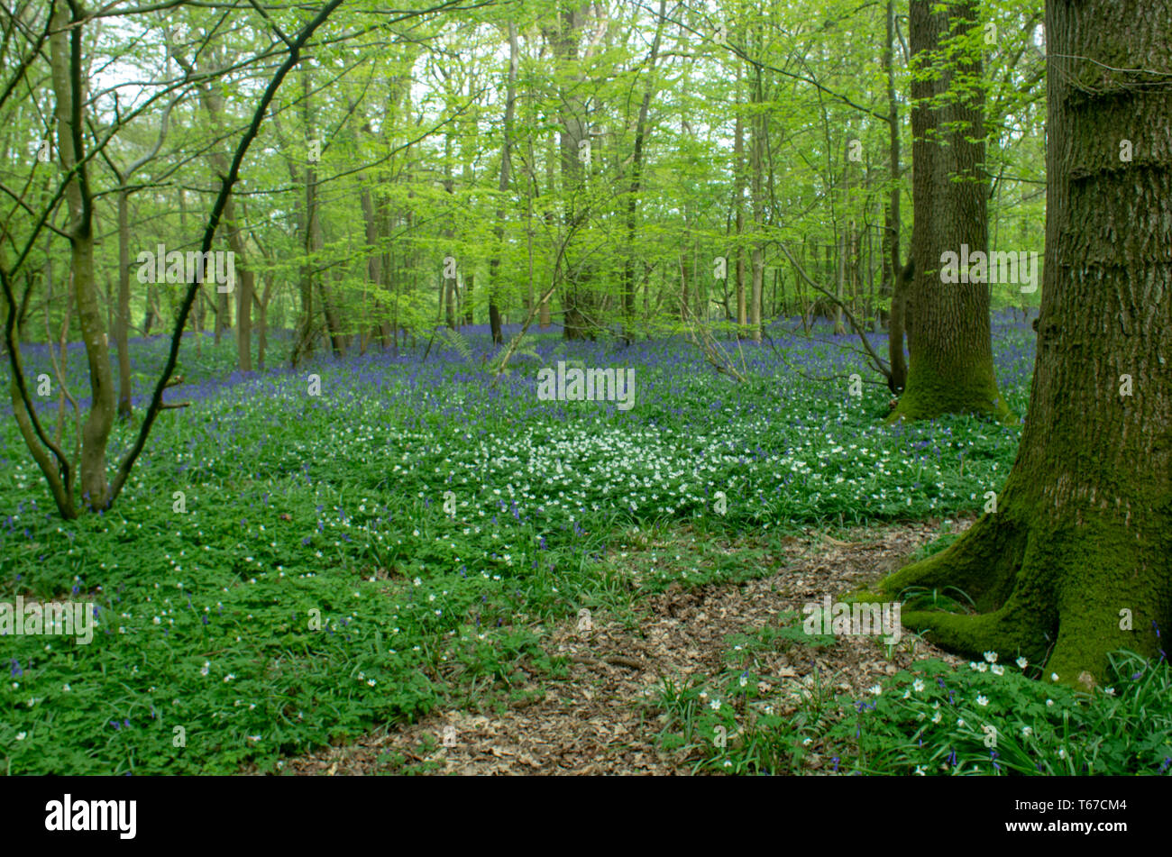 A  path into the woods with carpets of bluebells and wild hyacinths - Stock Image