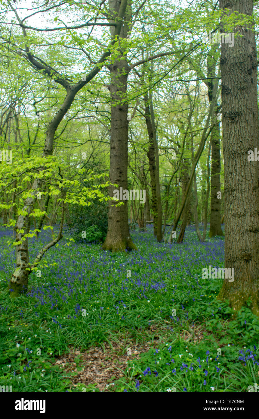 A path runs around  trees surrounded by bluebells - Stock Image