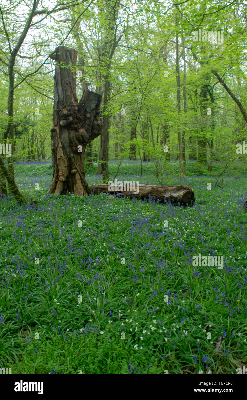 A gnarled old oak stump stands over a carpet of bluebells - Stock Image