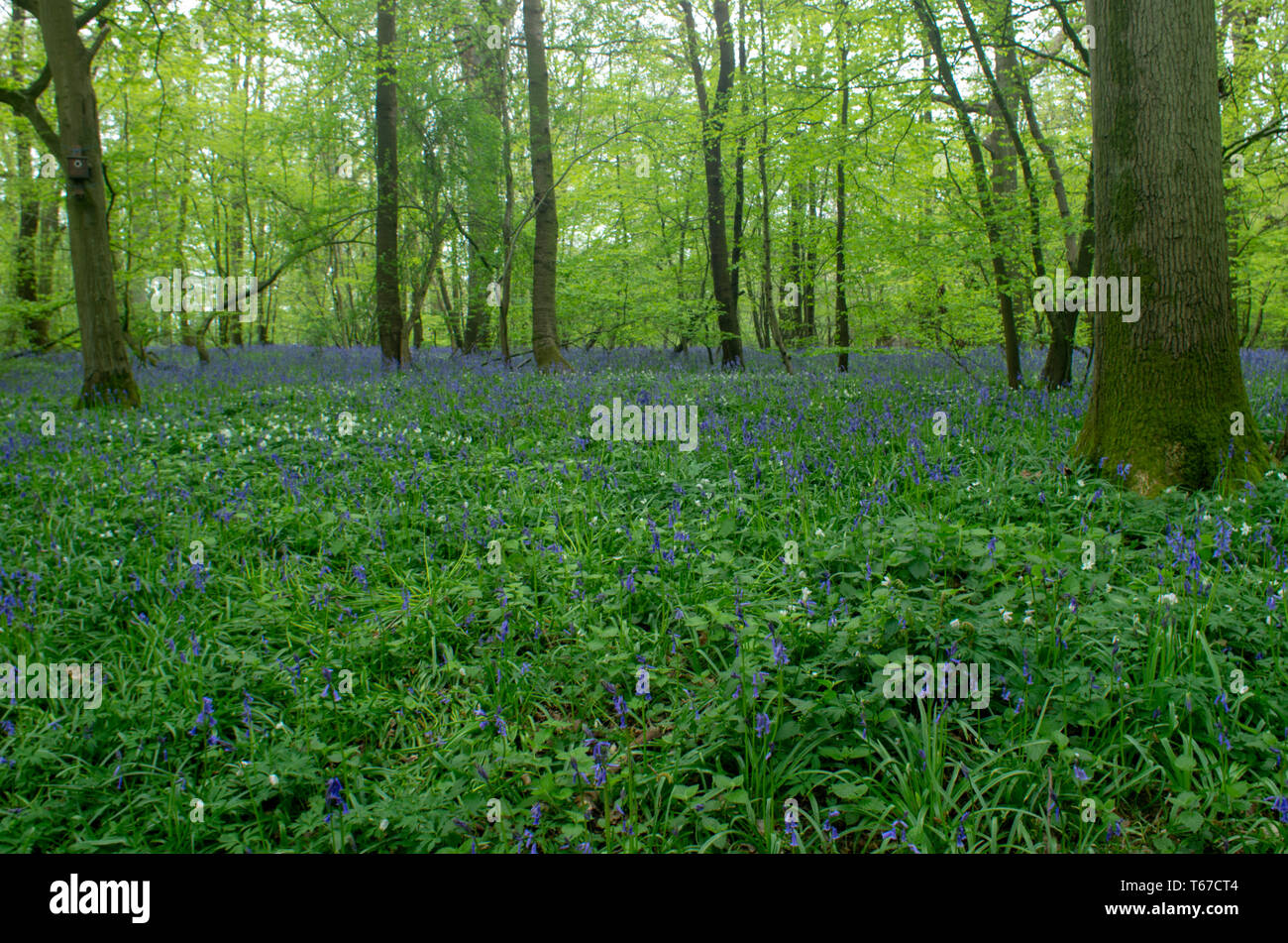 Bluebells (hyancithoid) carpet the floor of Poulton Wood, Kent - Stock Image