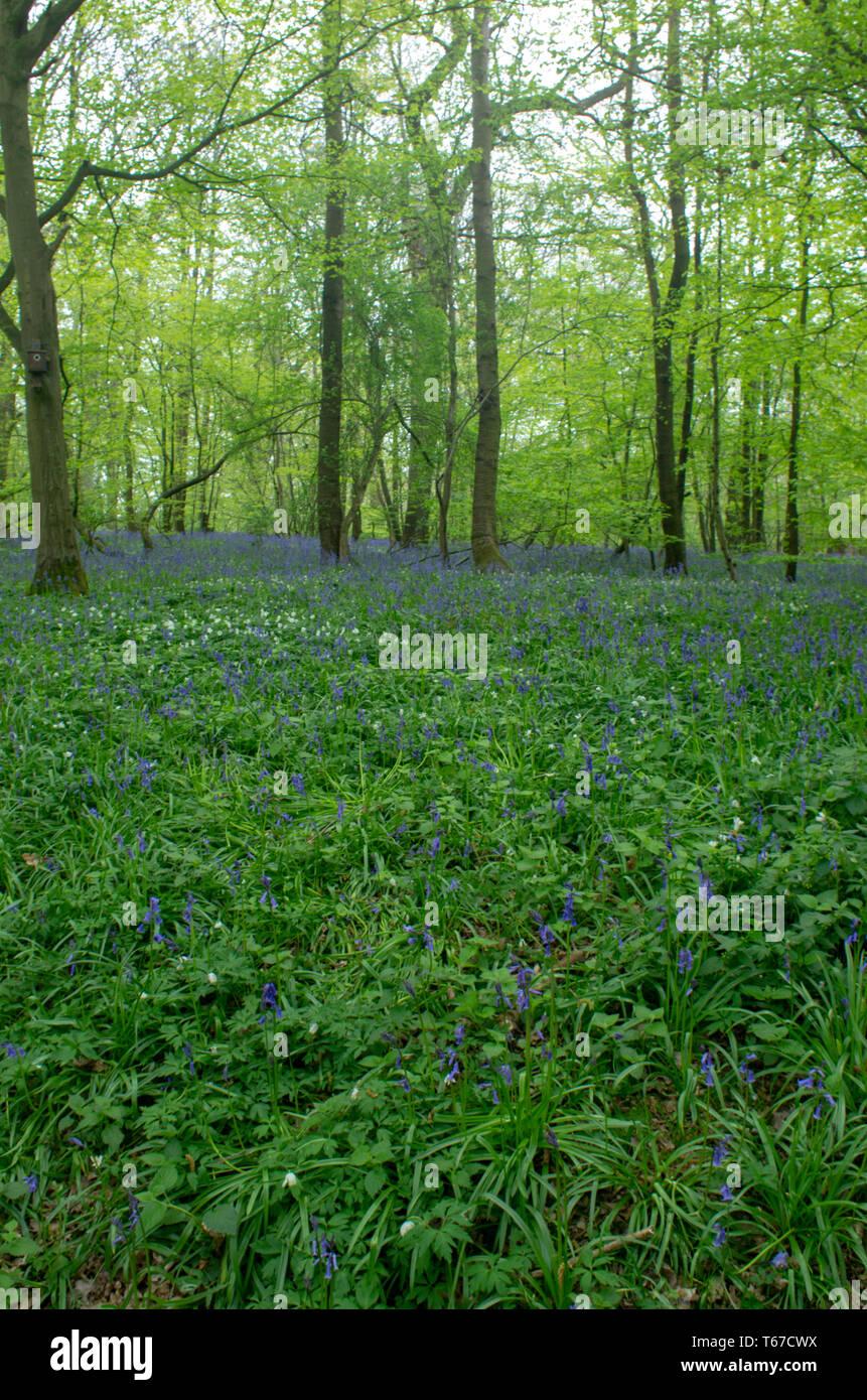 Bluebells carpet the woodland floor - Stock Image
