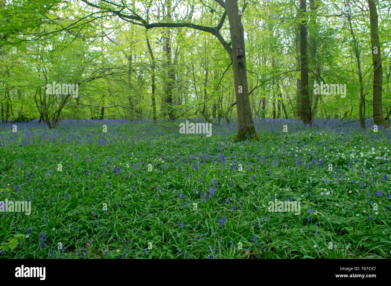 Blue bells float like a cloud between trees in Kentish woodland - Stock Image